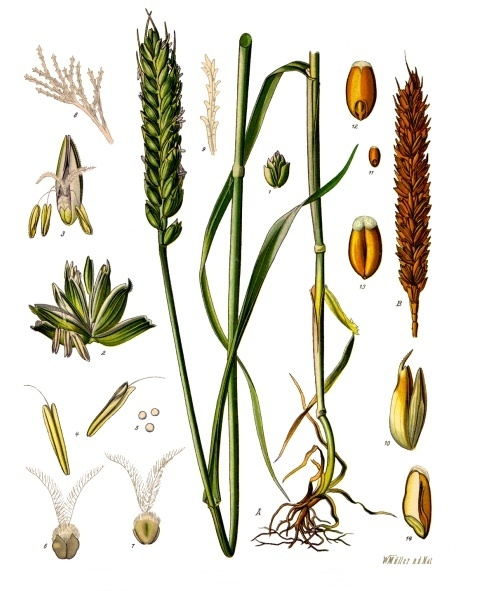 triticum_aestivum_-_ko%cc%88hler-s_medizinal-pflanzen-274